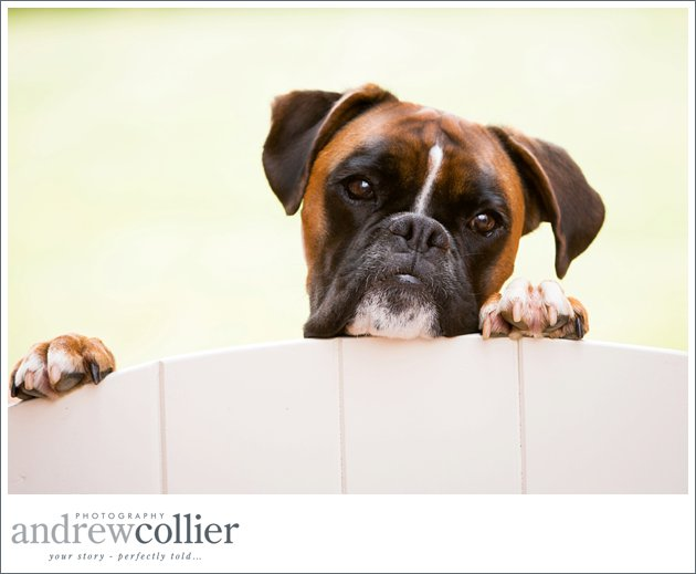 A boxer dog looks over the gate