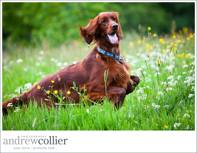 Red setter photography by Andrew Collier Photography