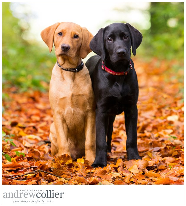 Fox red and black labrador puppies surrounded by Autumn leaves