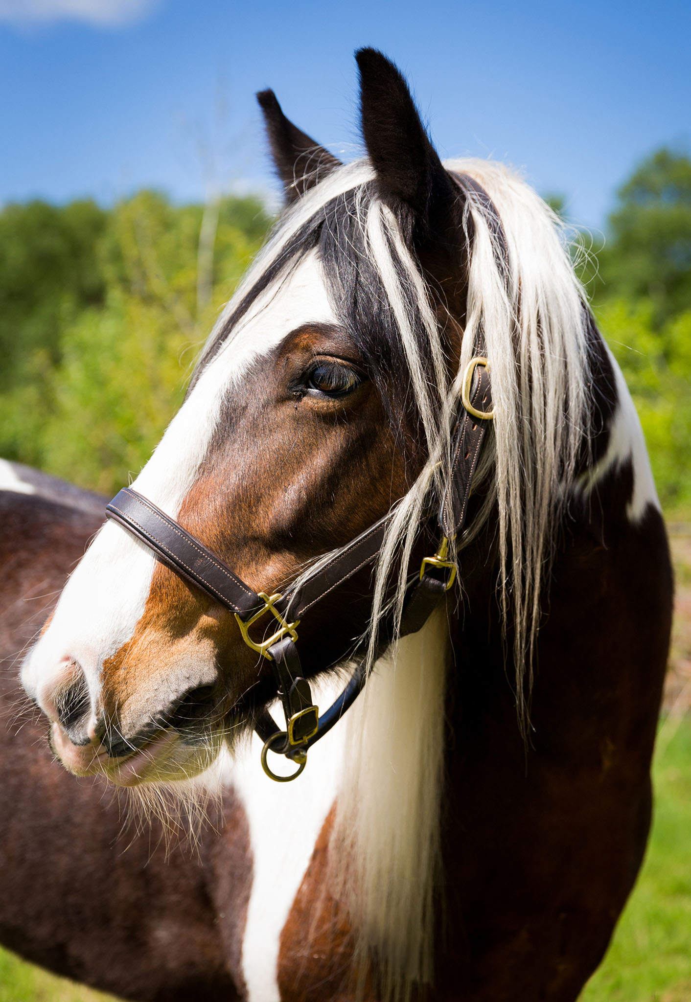 Equine portrait photograph of Gypsy Cob in Manchester by Cheshire based horse photographer, Andrew Collier Photography