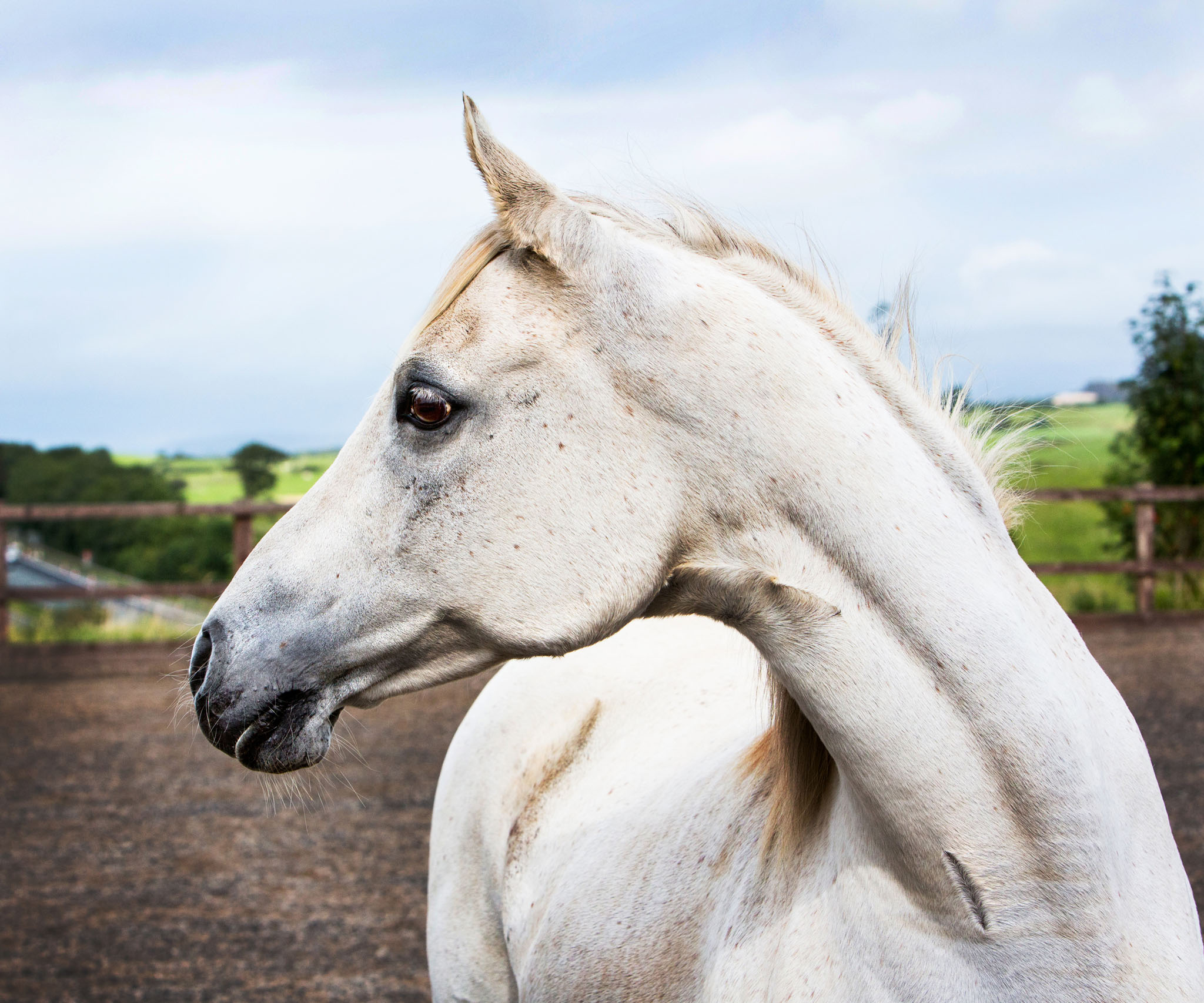 Equine portrait photograph taken near Lancaster by Cheshire based horse photographer, Andrew Collier Photography