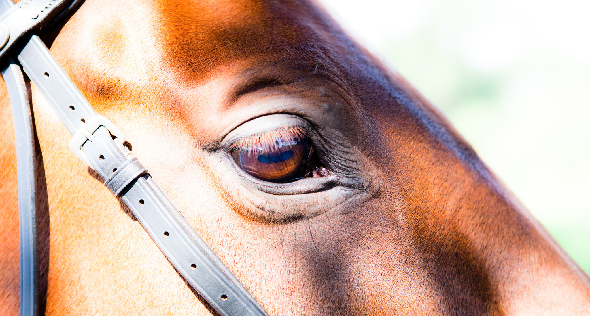 Equine portrait photography by Cheshire based horse photographer, Andrew Collier Photography