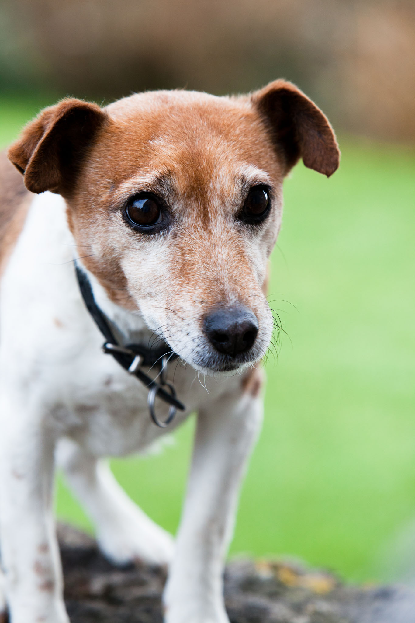 Pet portrait photography of a Jack Russell dog on a wall in Anglesey, North Wales