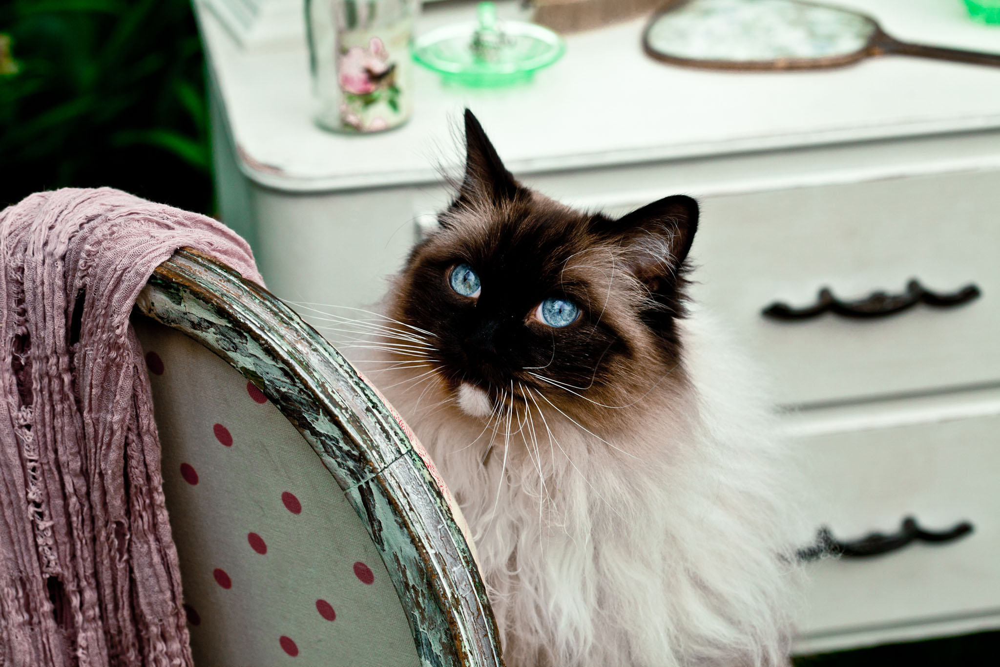Pet portrait photography of a rag doll cat in Warrington, Cheshire
