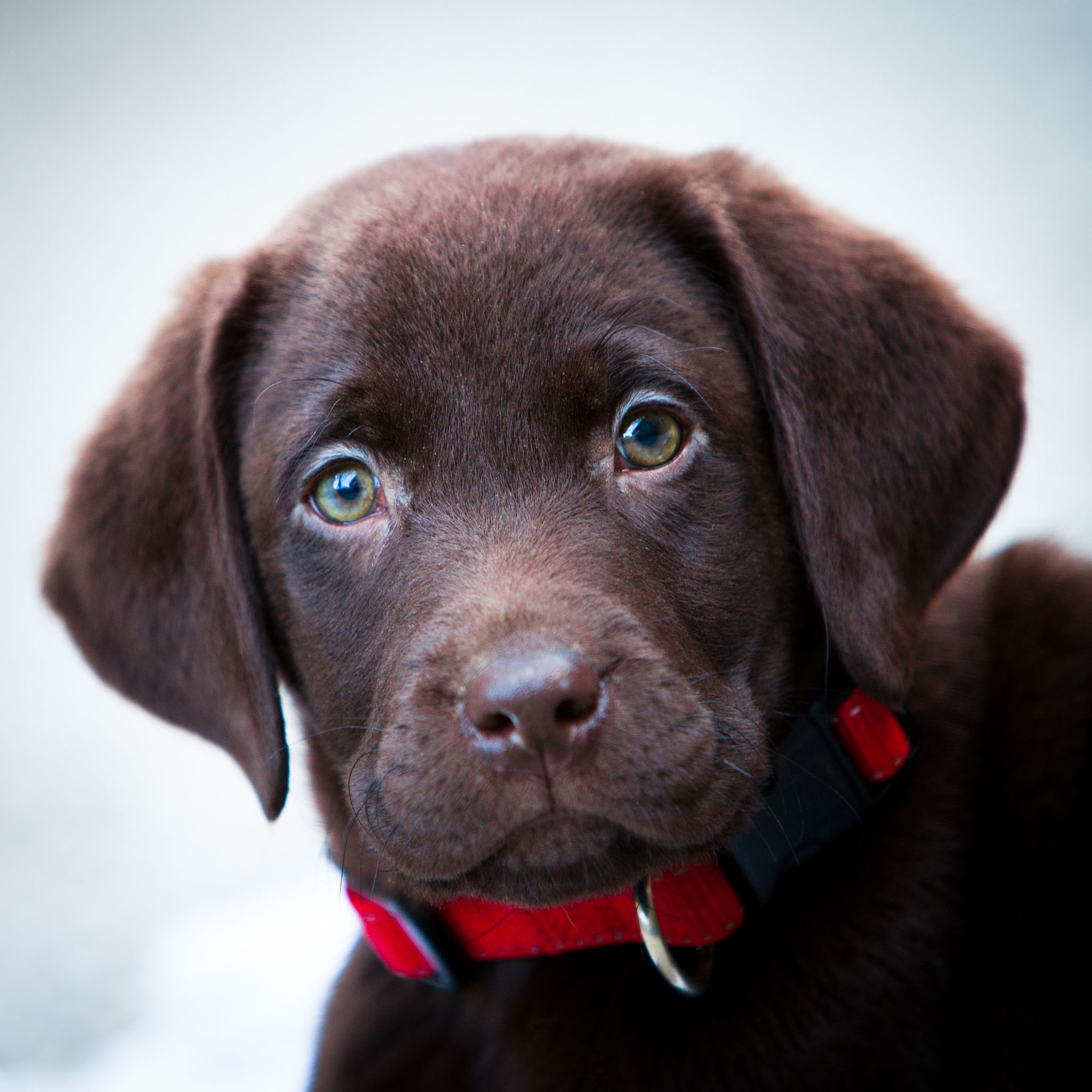 Pet portrait photography of a chocolate Labrador puppy in Lancaster, Lancashire