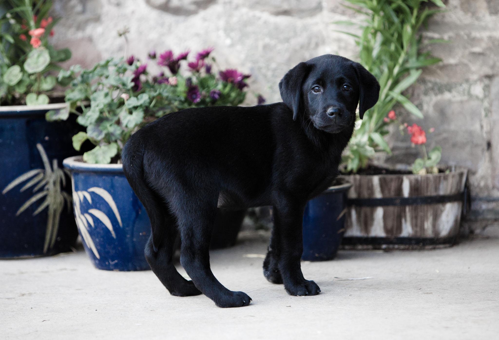 Pet portrait photography of a black Labrador puppy in Lancaster, Lancashire