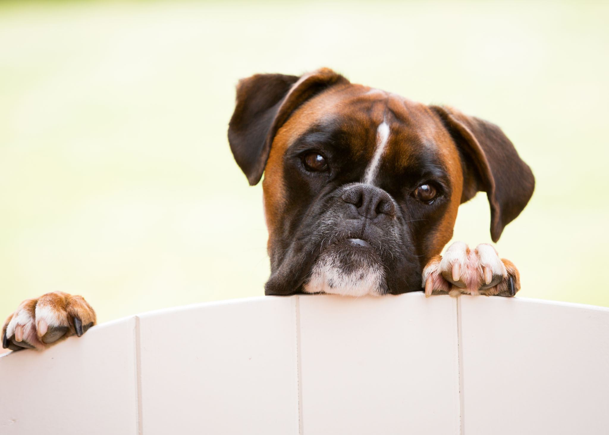Pet portrait photography of a boxer dog peeping over the gate in Tattenhall