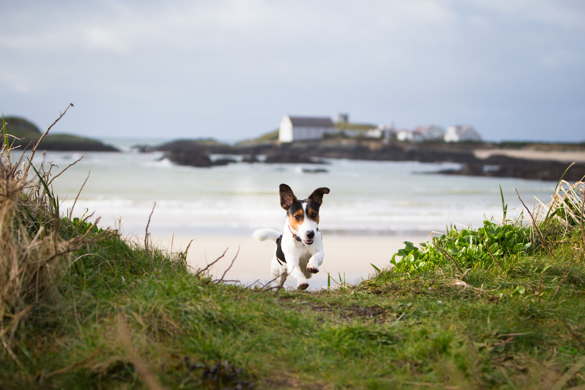 Pet portrait photography of a Jack Russell by the beach in Rhoscolyn, Anglesey, North Wales
