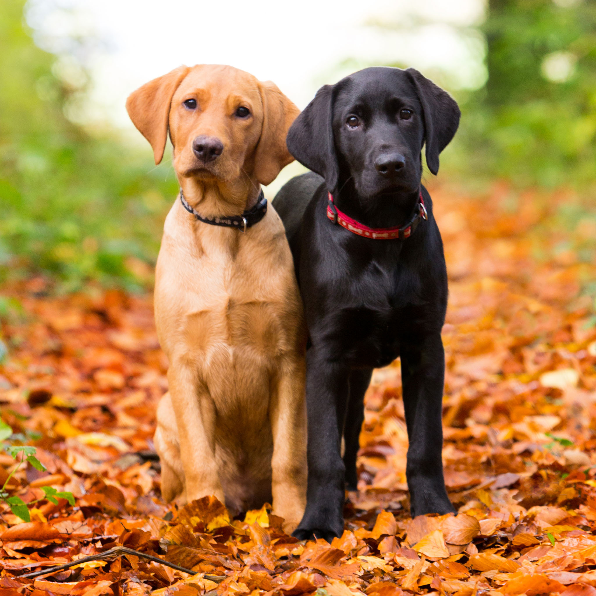 Pet portrait photography of a fox red Labrador puppy and a black Labrador puppy in autumn leaves in Holywell, North Wales