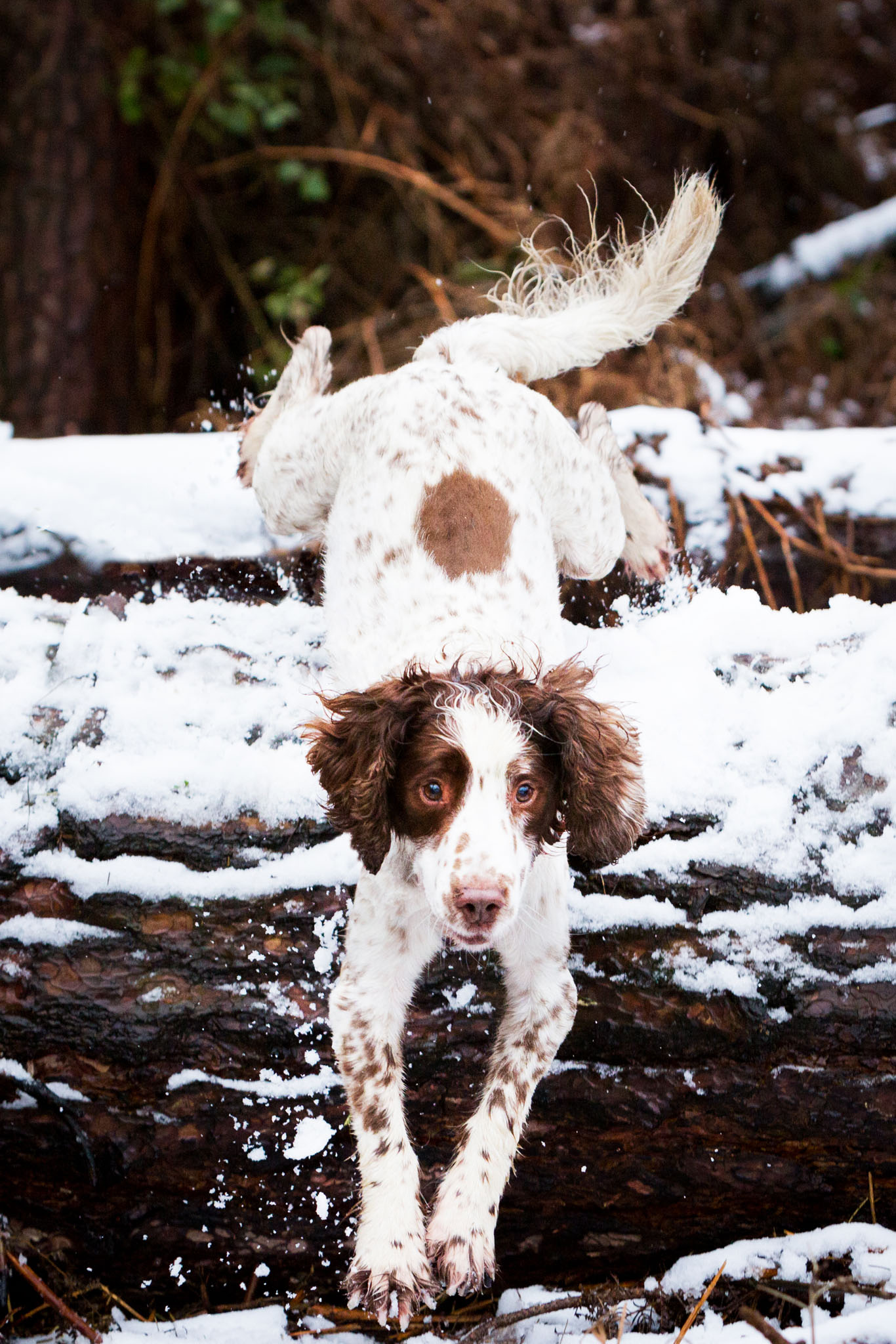 Pet portrait photography of a springer spaniel in the snow in High Legh, Cheshire