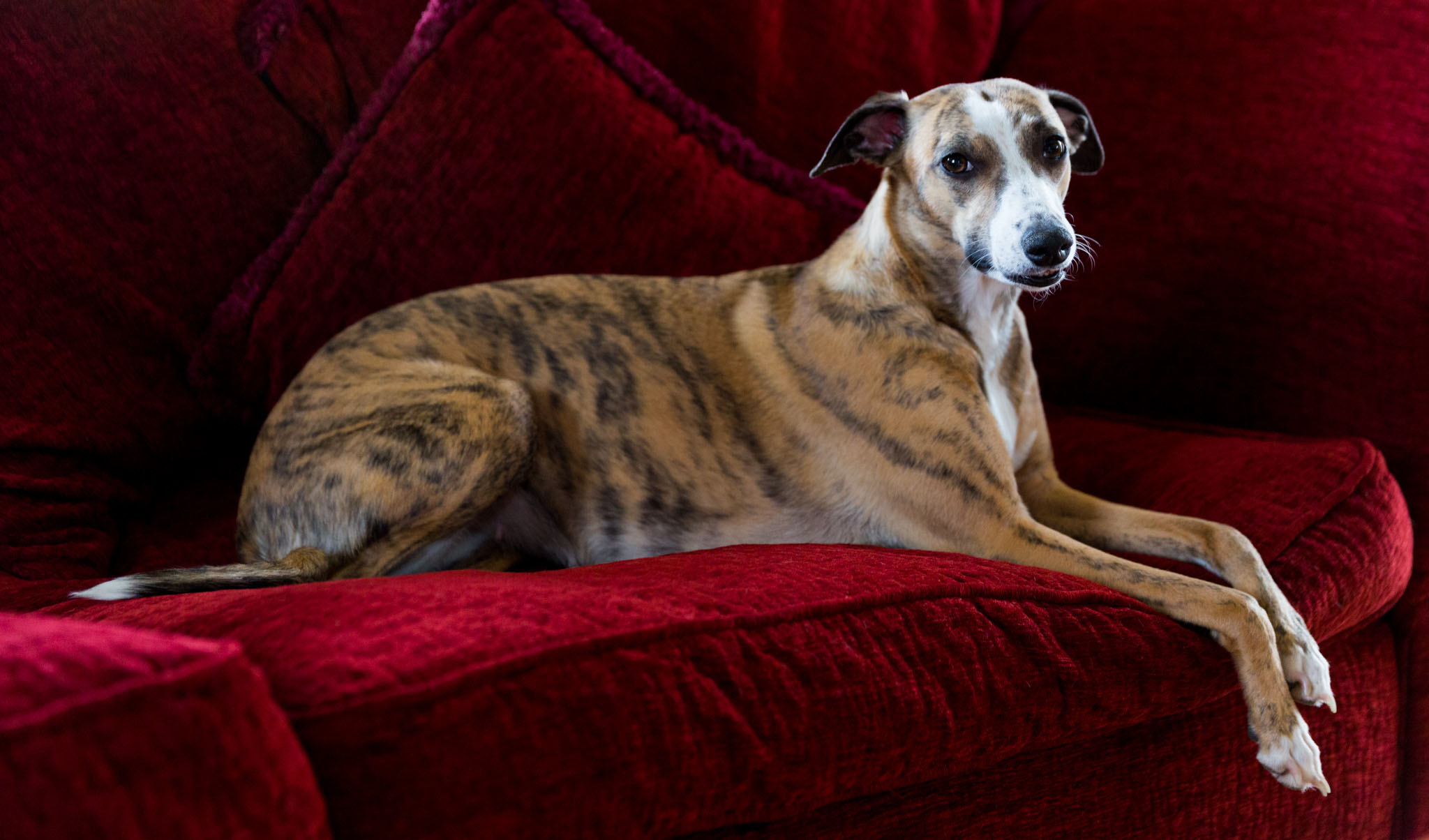 Pet portrait photography of a whippet on a sofa in Warrington, Cheshire