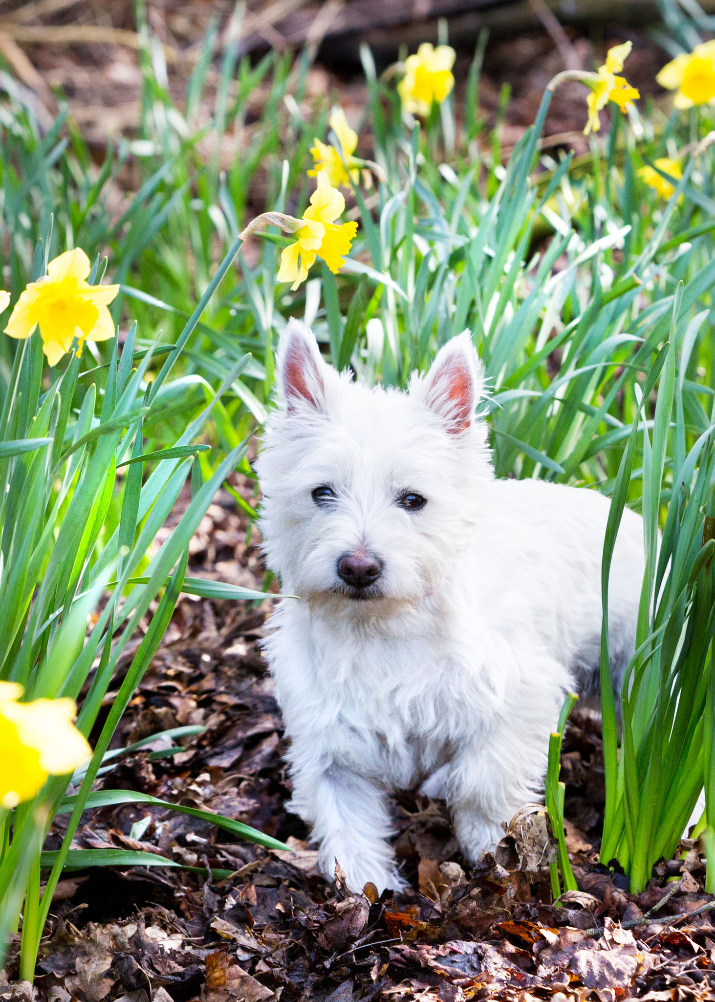 Pet portrait photography of a west highland terrier amongst daffodils in Lymm, Cheshire