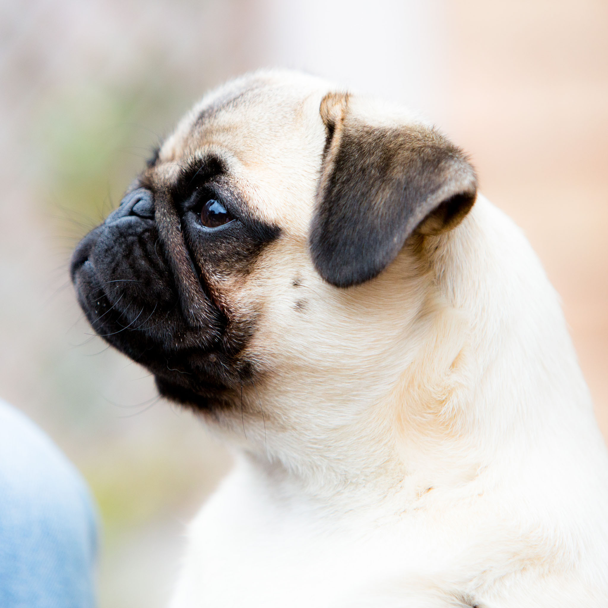 Pet portrait photography of a pug in Wigan