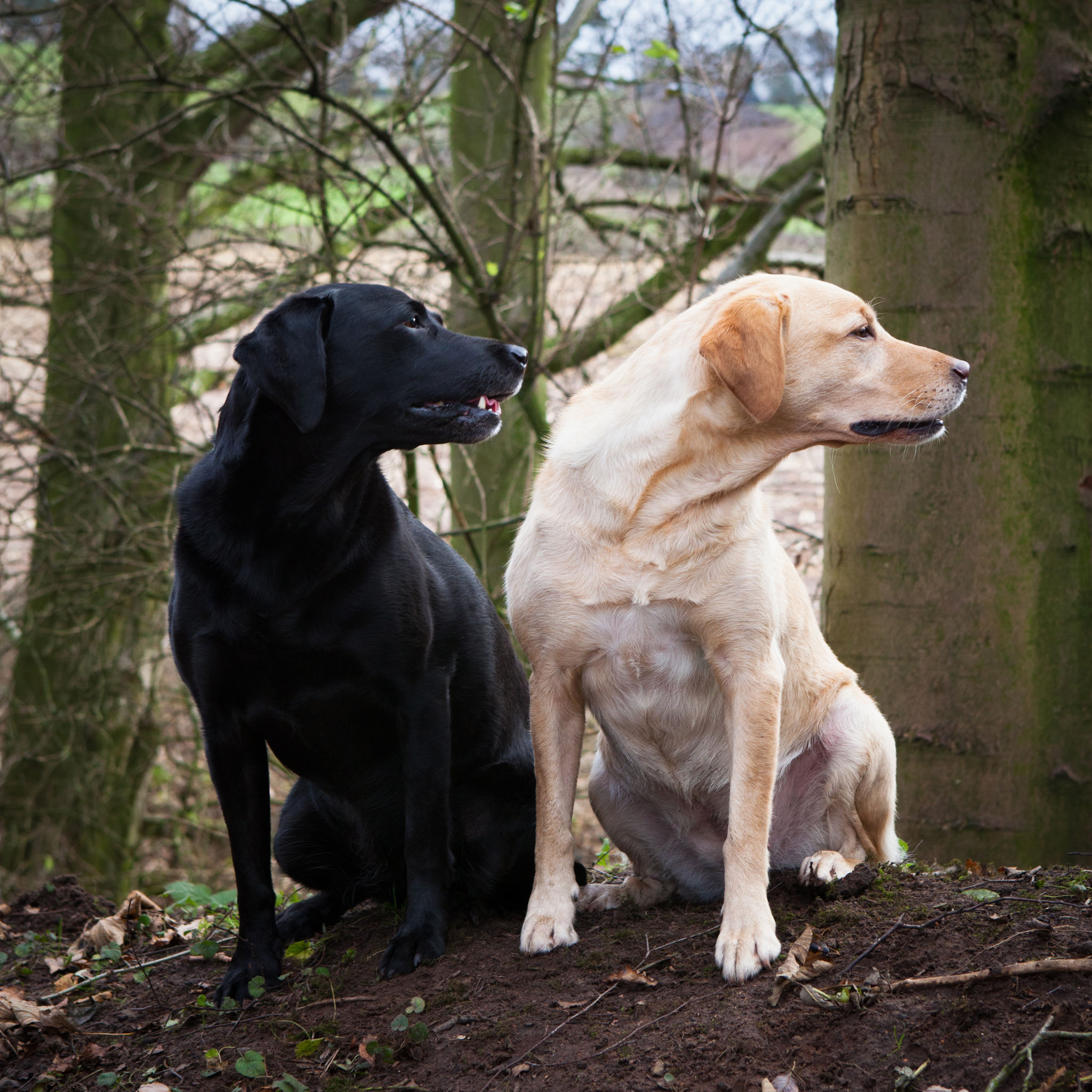 Pet portrait photography of a golden Labrador and black Labrador in Delamere Forest