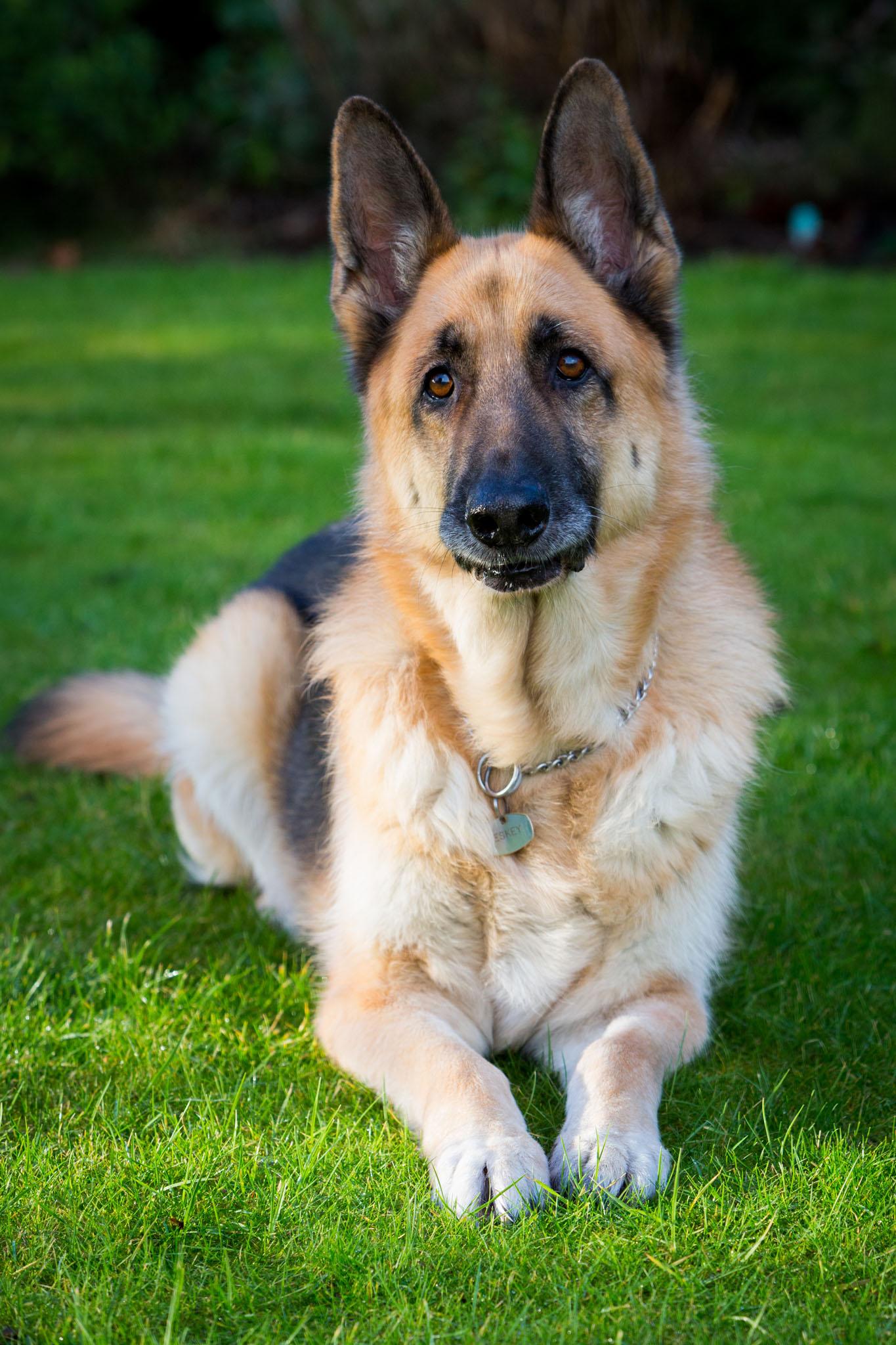 Pet portrait photography of a German Shepherd in St Helens, Mereseydie