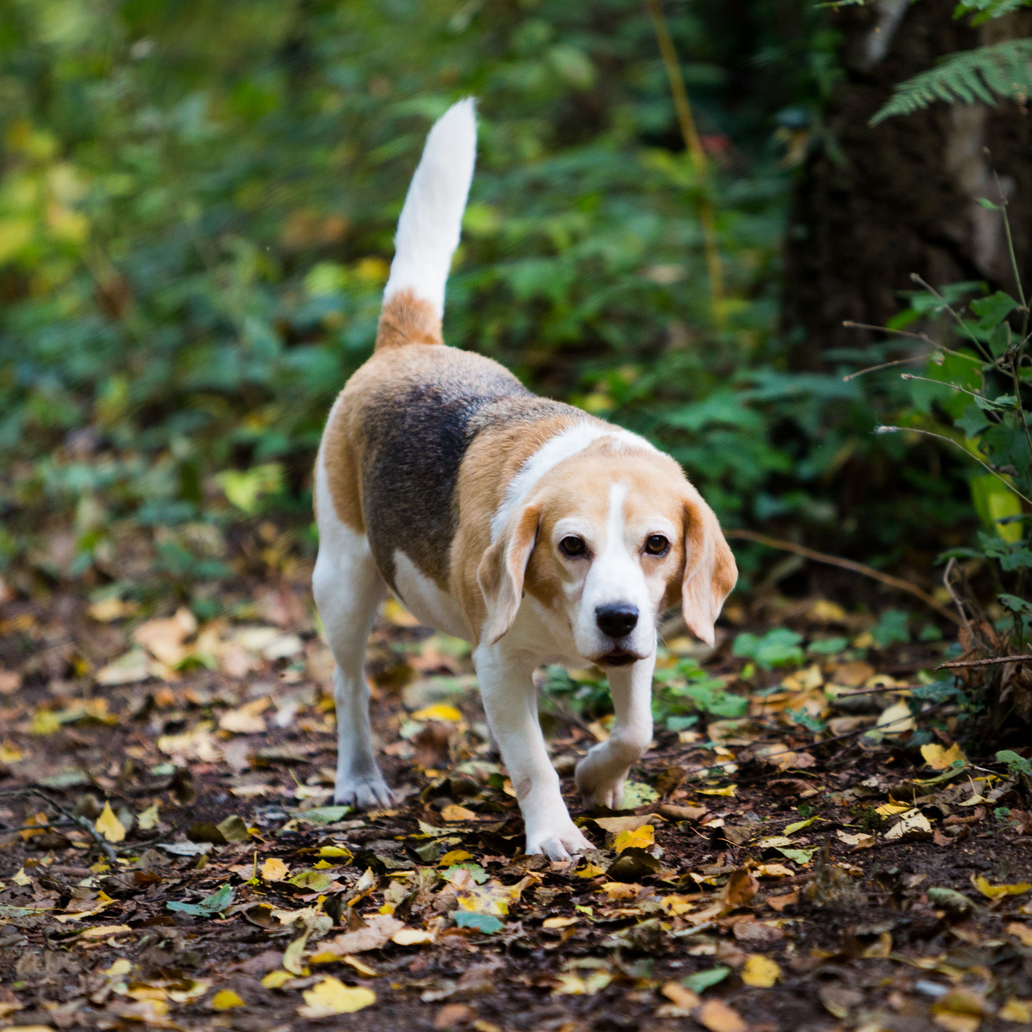 Pet portrait photography of a beagle out for a stroll in Middlewich, Cheshire