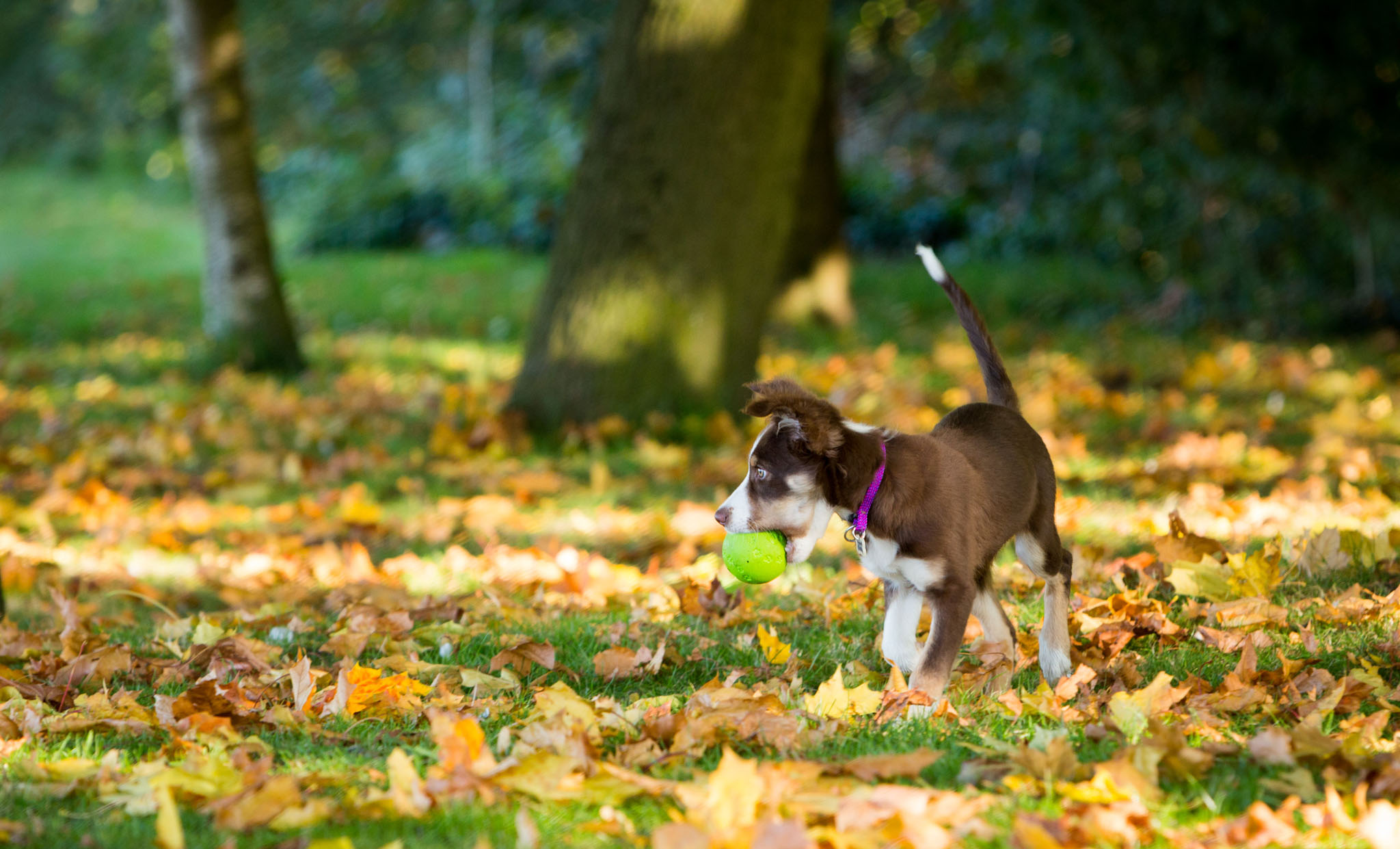 Pet portrait photography of a sheep dog puppy with her tennis ball in autumn leaves in Lymm, Cheshire