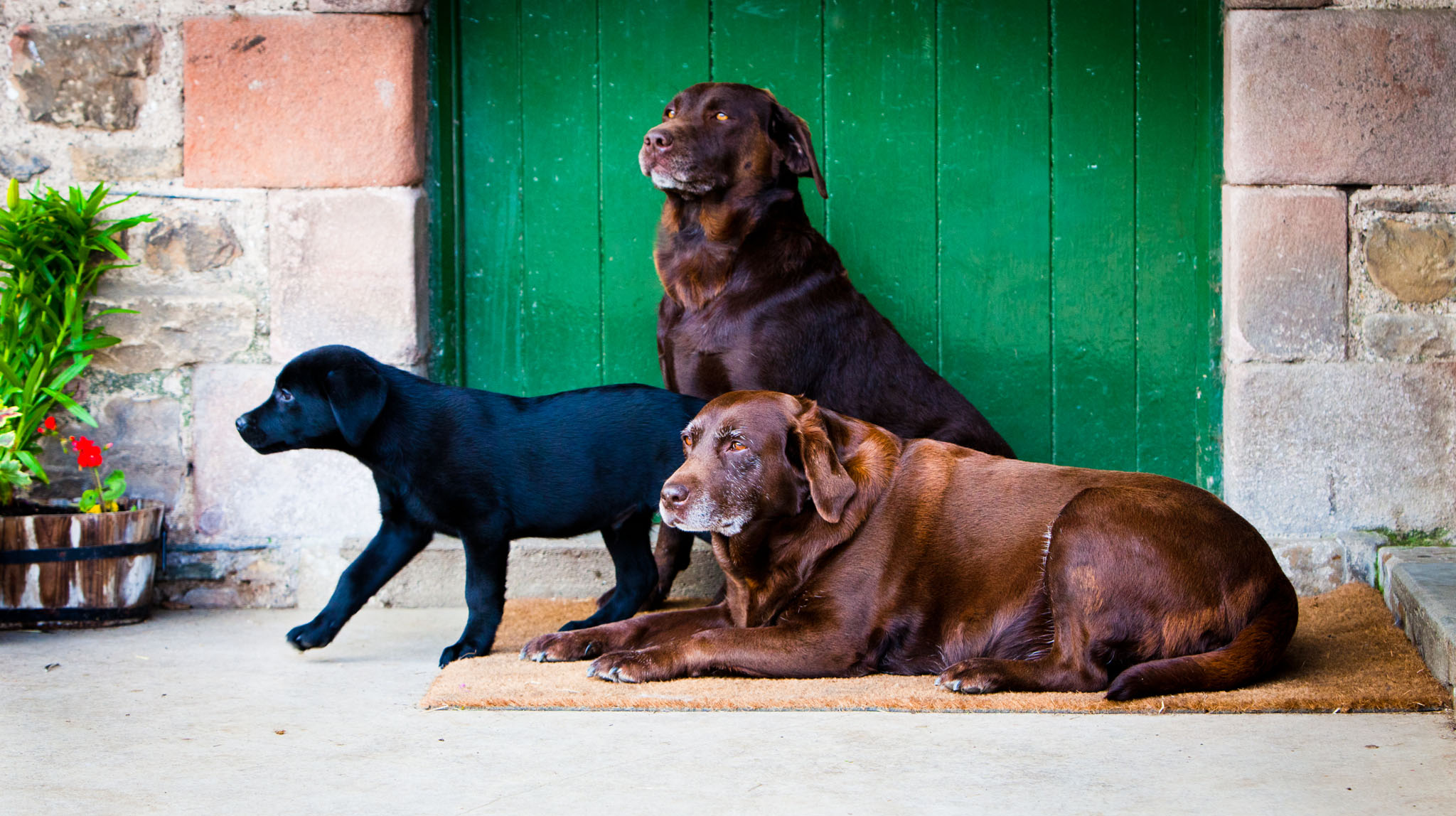 Pet portrait photography of a chocolate Labrador puppy with his mother and grandmother in Lancaster, Lancashire