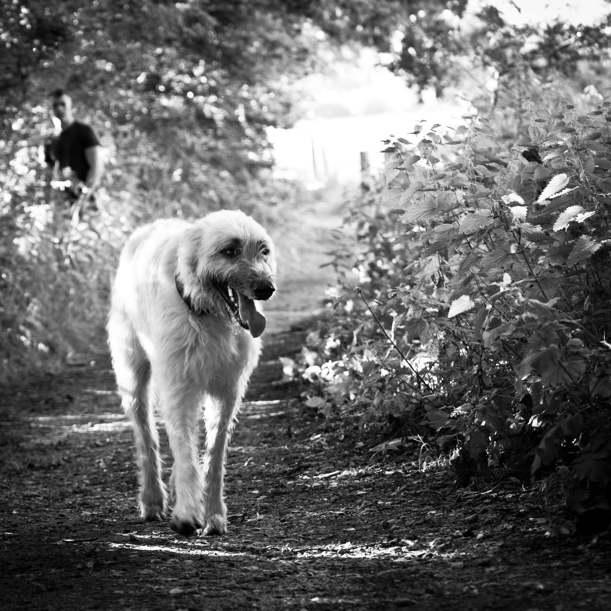 Pet portrait photography of an Irish wolfhound with his owner in Stockport