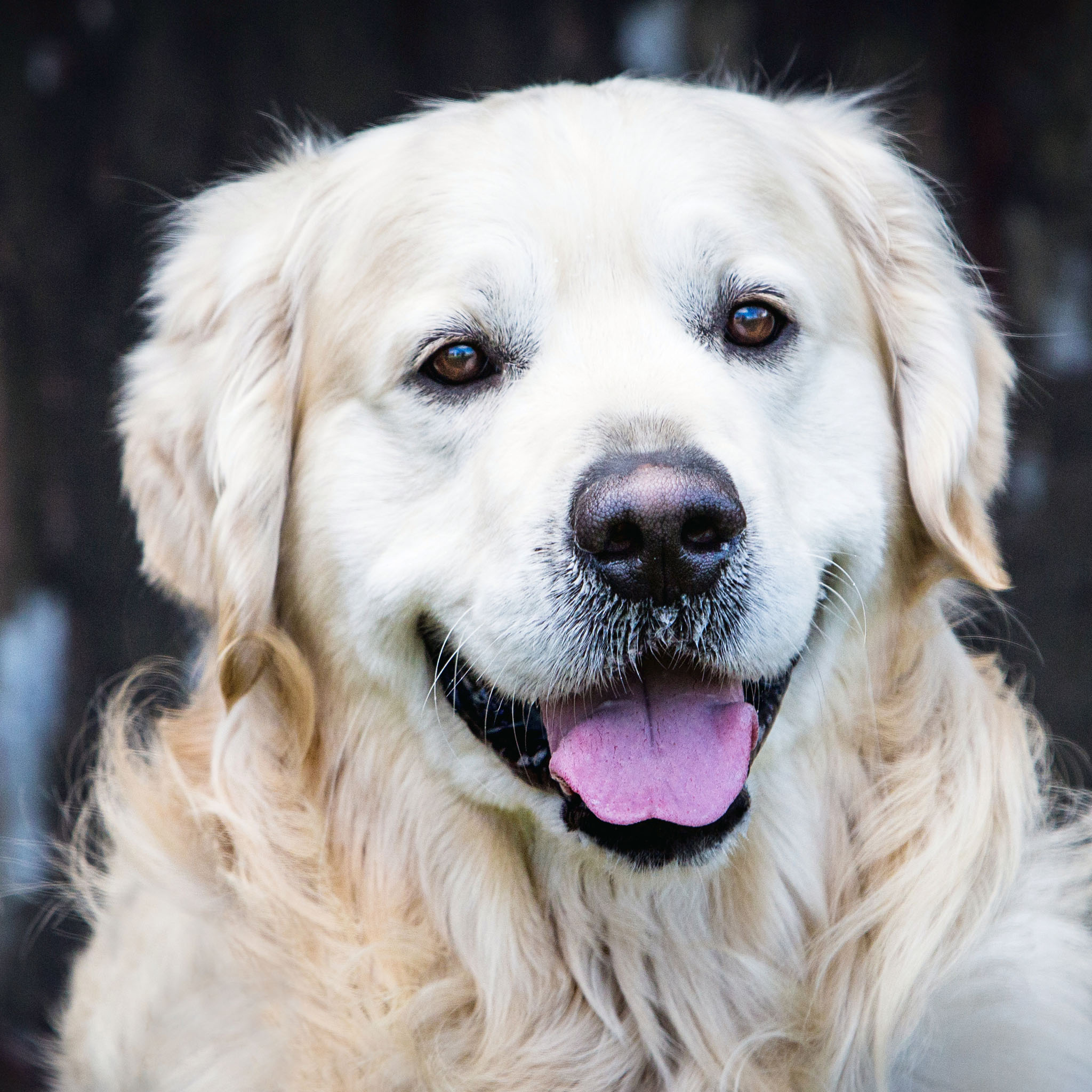 Pet portrait photography of a golden retriever dog in Holywell, North Wales