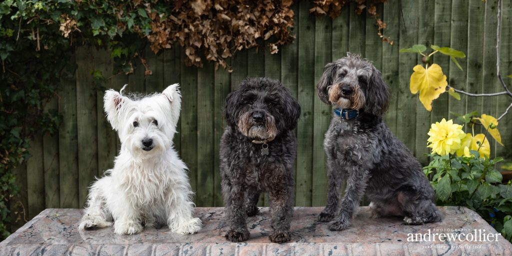 Dog portrait photograph of three terriers in South Cheshire