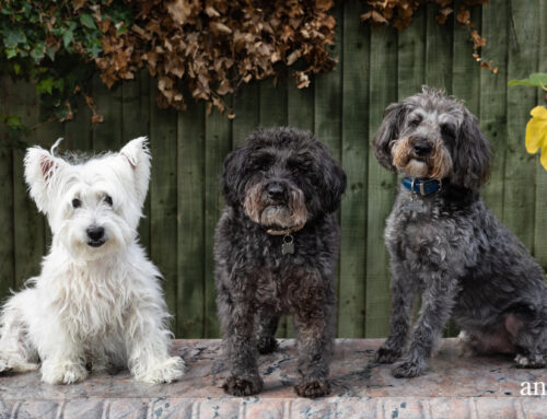 Three dogs near Crewe | pet photography in South Cheshire