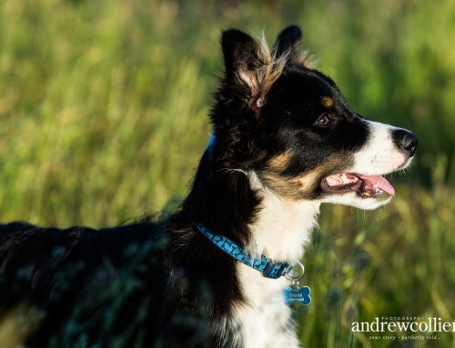 Pet photography in Cuddington, Cheshire with Mitch the Border Collie