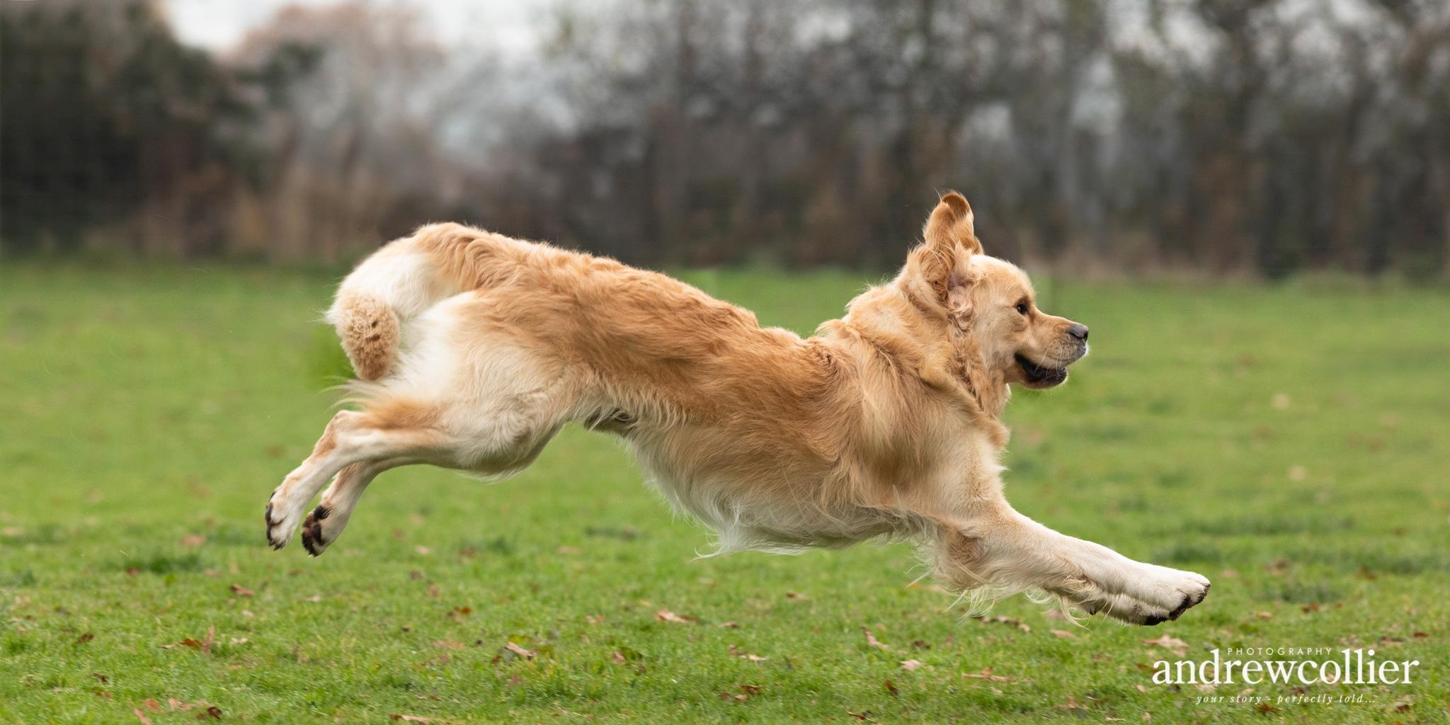 An action dog portrait of a golden retriever running across a field