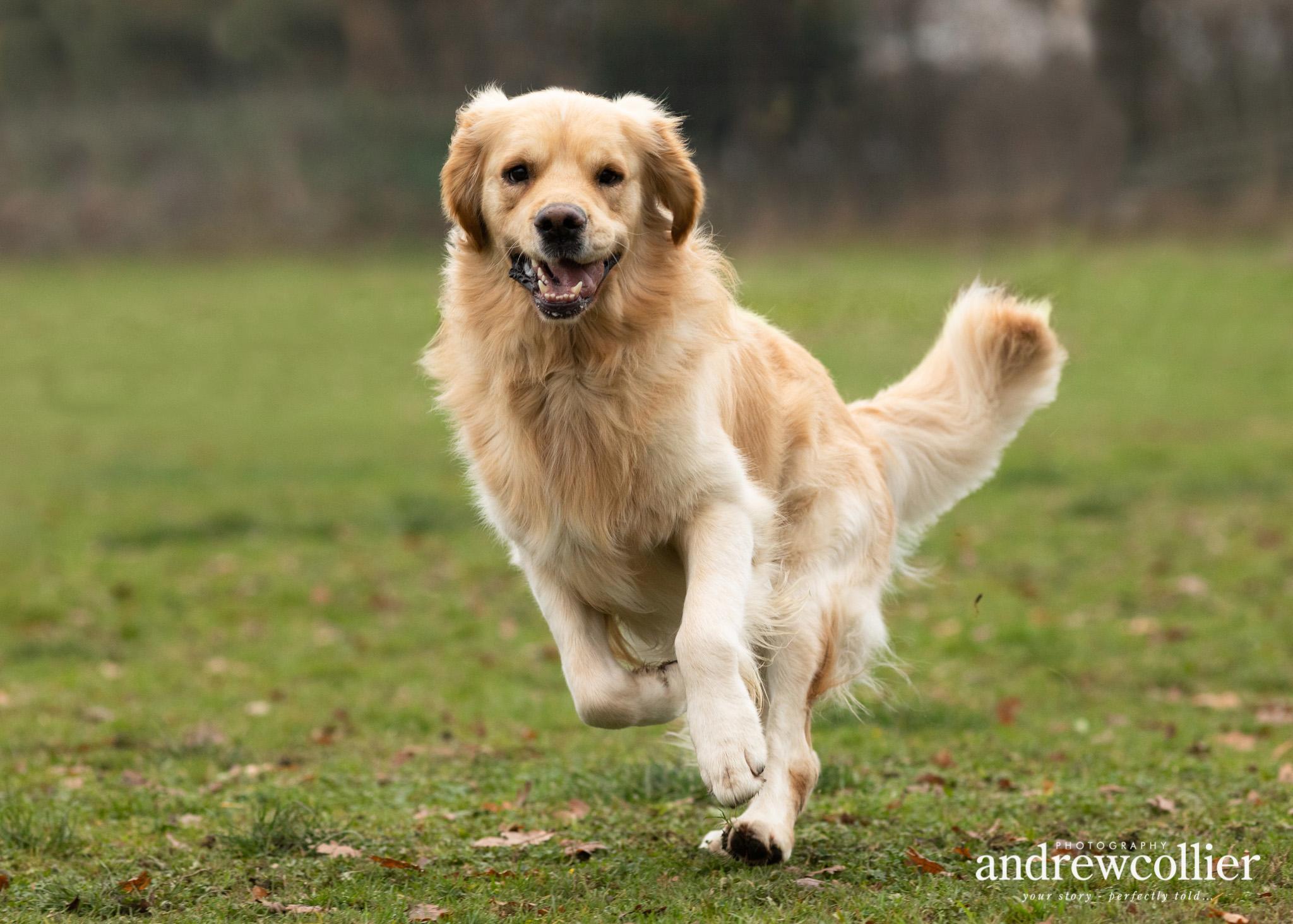 An action pet portrait of a golden retriever running towards the camera