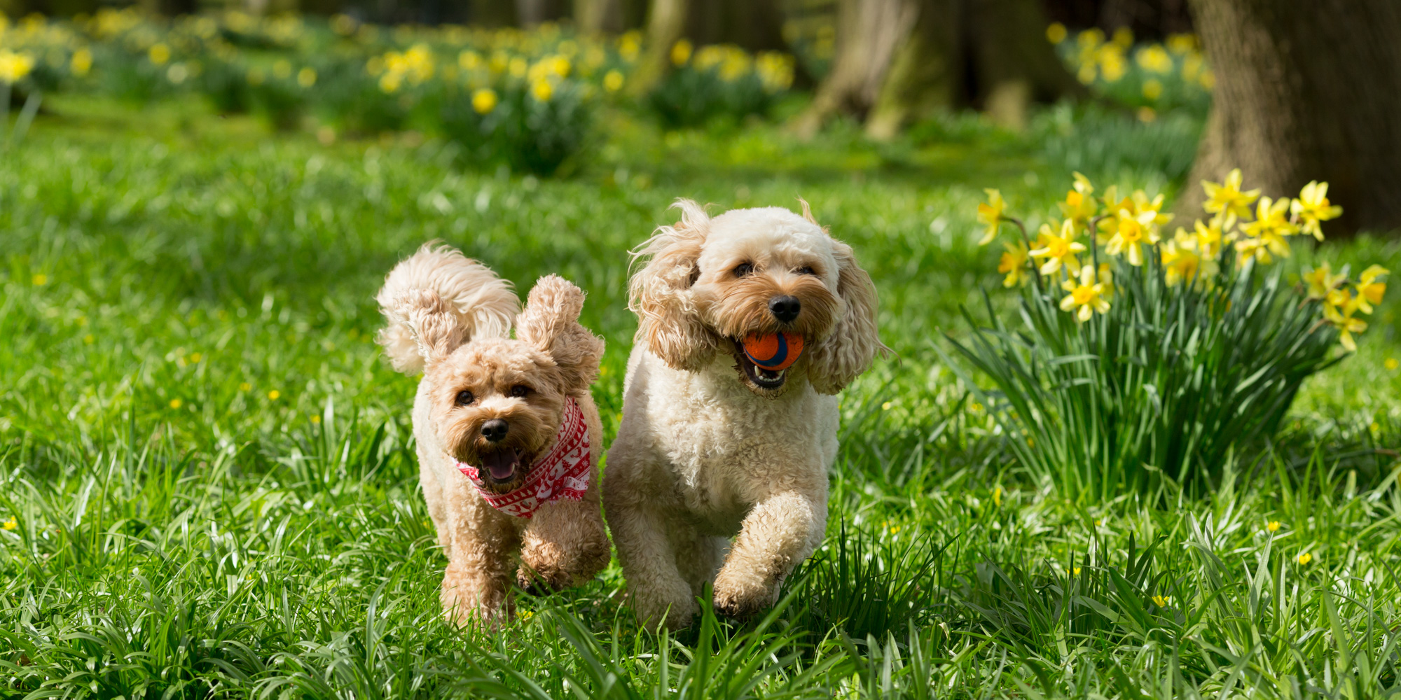 small dogs running with daffodils