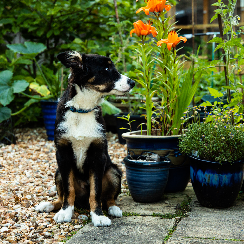 border-collie-dog-northwich-cheshire