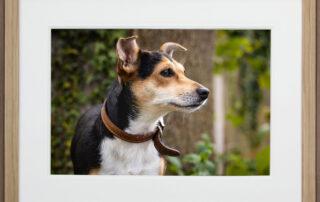 Framed dog portrait of Jack Russell in natural wood frame